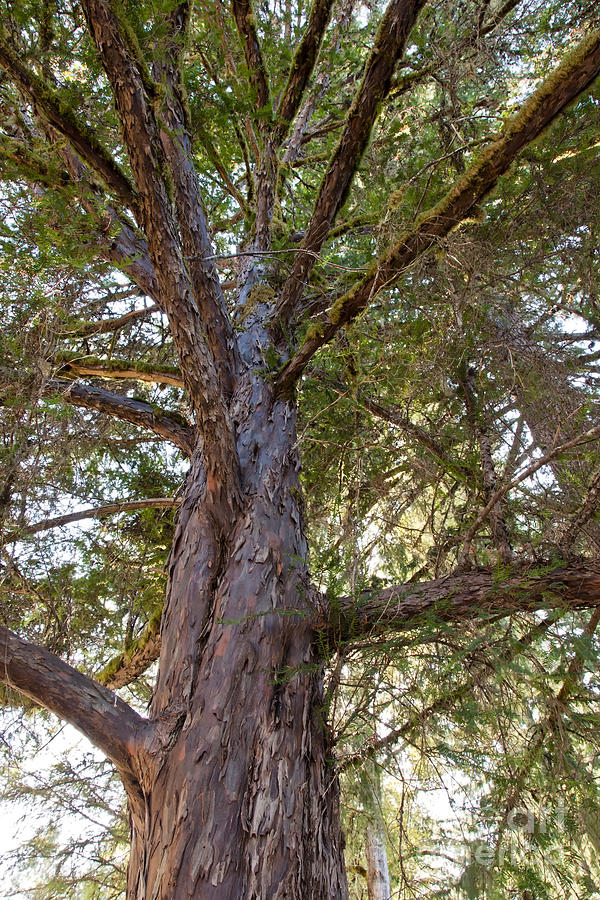 pacific-yew-tree